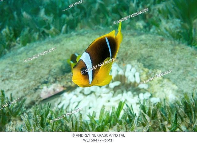 Red Sea Anemonefish or Threebanded Anemonefish (Amphiprion bicinctus) and White (Albinism) Bubble anemone (Entacmaea quadricolor