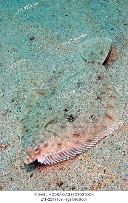 Mimetic plaice lying on the sea florr in Brittany, France. Pleuronectes platessa