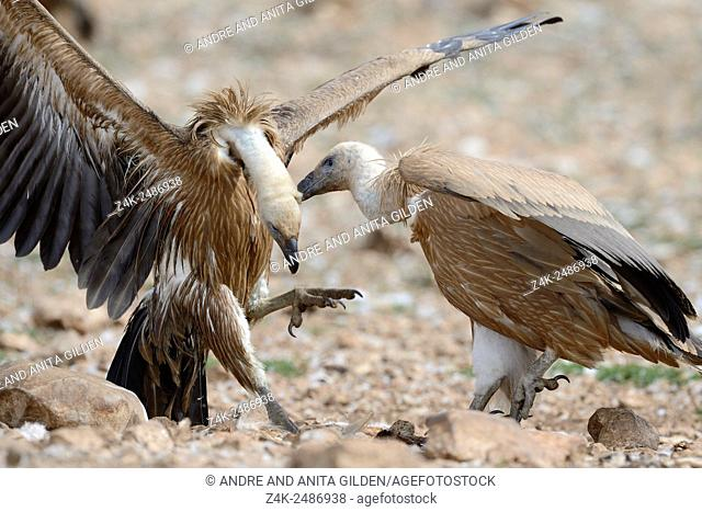 Griffon Vulture (Gyps fulvus) fighting, one picking on skin from another