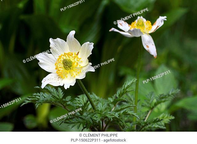 Alpine pasqueflowers / Alpine anemones (Pulsatilla alpina) in flower