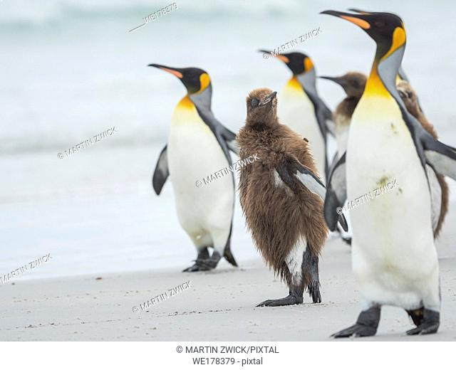Chick in brown plumage. King Penguin (Aptenodytes patagonicus) on the Falkland Islands in the South Atlantic. South America, Falkland Islands, January