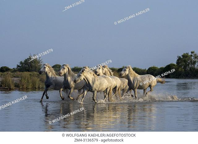 Camargue horses running through the water of a shallow lake in the Camargue in southern France
