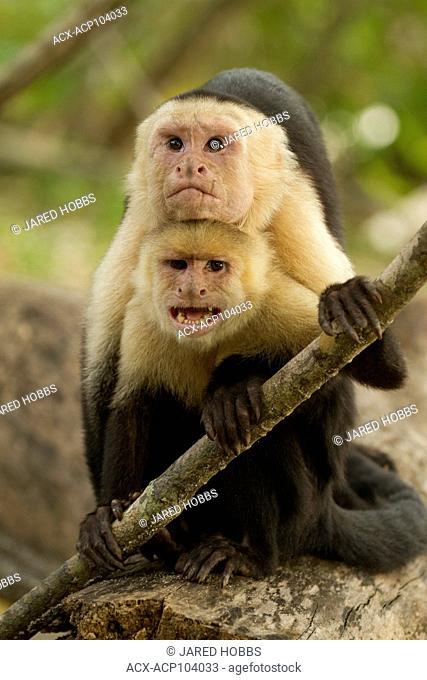White-faced Capuchin Monkey, Cebus capucinus, Costa Rica, Central America