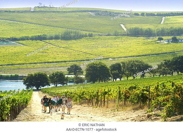 People hiking with two donkeys through the vineyards of Bein and neighbouring wine estates in Stellenbosch, Western Cape, South Africa