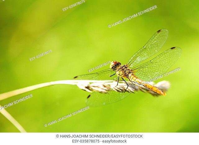 Ruddy darter, male sitting on a grass in Germany
