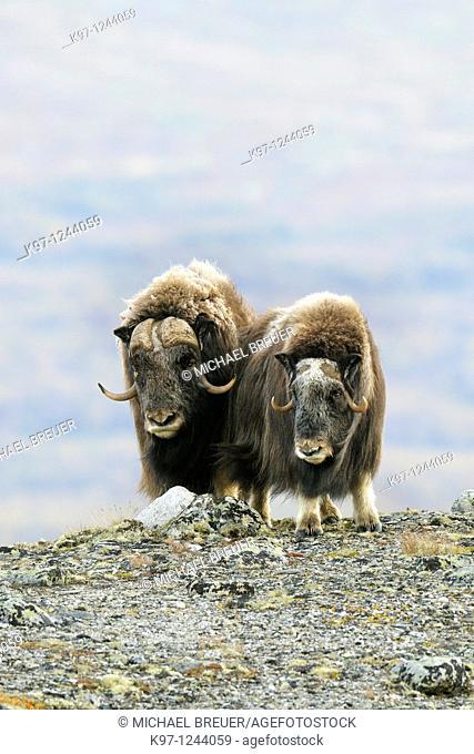 Muskoxen (Ovibos moschatus), Bull and Cow, Dovrefjell-Sunndalsfjella National Park, Norway, Scandinavia, Europe, Autumn, Fall
