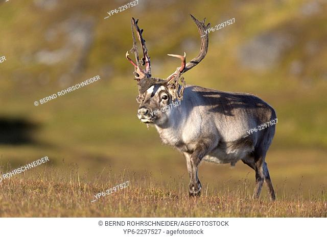 male Svalbard Reindeer (Rangifer tarandus platyrhynchus), Alkhornet, Spitsbergen, Svalbard