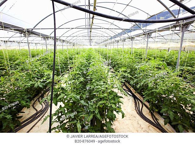 Tomato plants in greenhouse, Nuarbe, Azpeitia, Gipuzkoa, Basque Country, Spain