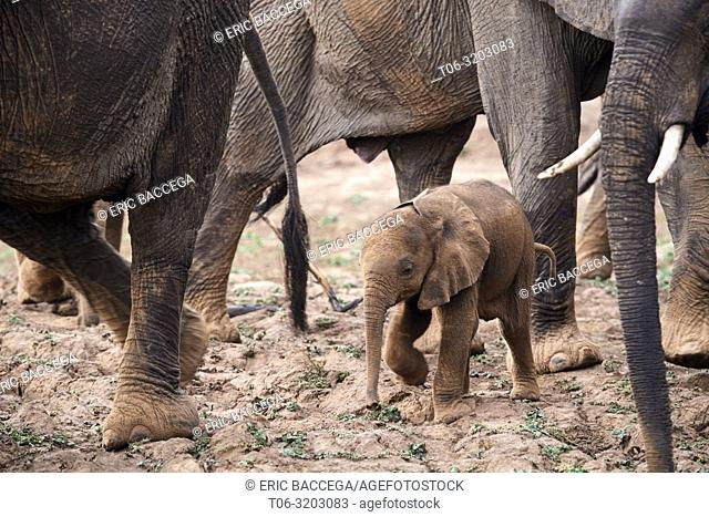African elephant (Loxodonta africana) very young calf walking amongst the herd, South Luangwa National Park, Zambia
