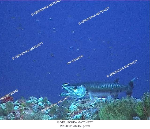 Barracuda being groomed by wrasse. Red Sea, Egypt