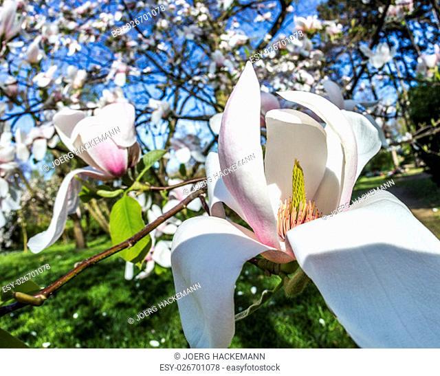 blooming magnolia trees under blue sky