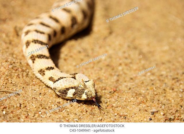 Horned Adder Bitis caudalis - Its venom is mild and not fatal in humans  Living Desert Snake Park, Swakopmund, Namibia