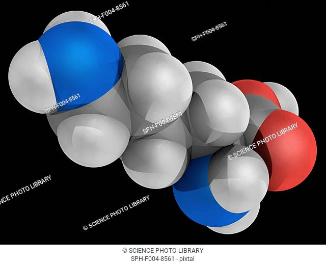 Lysine, molecular model. Essential alpha-amino acid. Necessary building block for all protein in the body. Atoms are represented as spheres and are...
