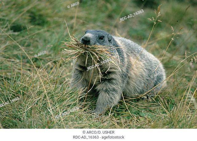 Alpine Marmot making hay Austria Marmota marmota