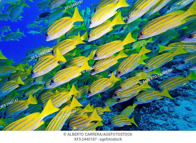 Blue-striped Snapper, Lutjanus kasmira, North Ari Atoll, Maldives, Indian Ocean, Asia
