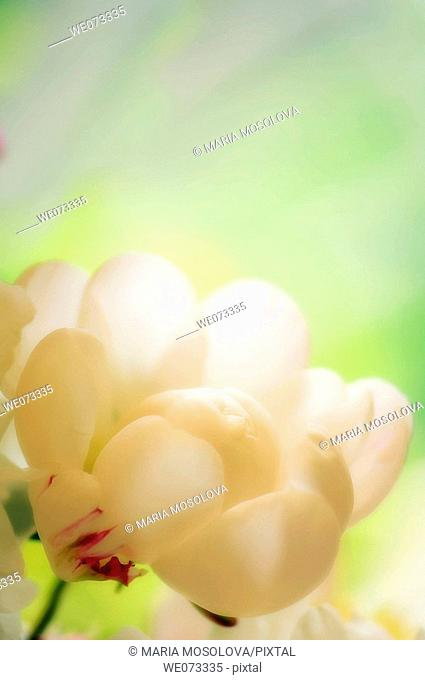 White Peony. Paeonia lactiflora. May 2007, Maryland, USA