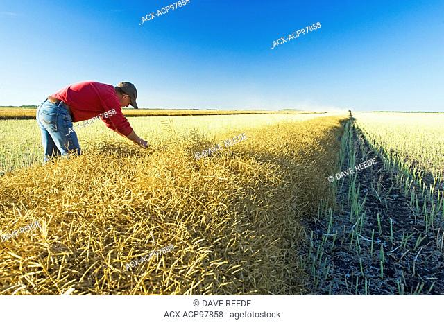 a man in a field of swathed harvest ready canola near Lorette, Manitoba, Canada