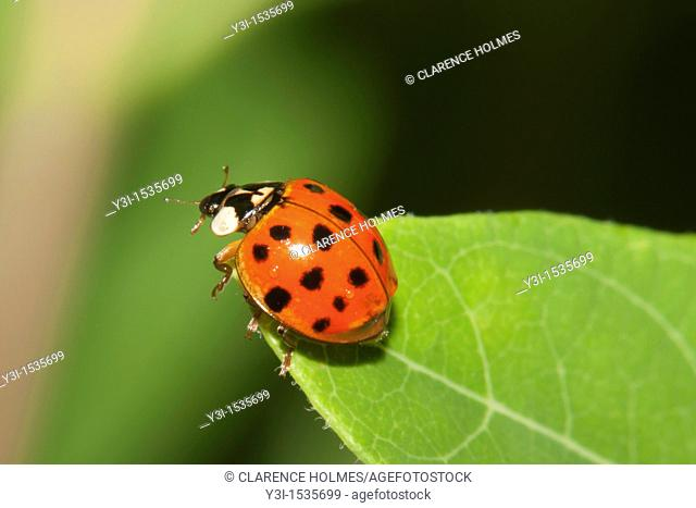 A Multicolored Asian Lady Beetle Harmonia axyridis perched on a leaf, Promised Land State Park, Greentown, Pike County, Pennsylvania, USA