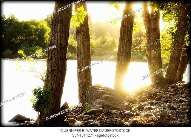 Cottonwood trees backlit, Spokane River, Spokane, Washington, USA