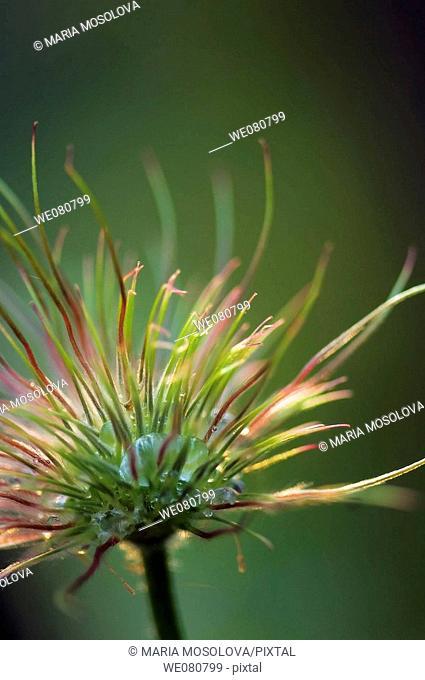 Pasque Flower Seedhead. Pulsatilla vulgaris. April 2008. Maryland, USA