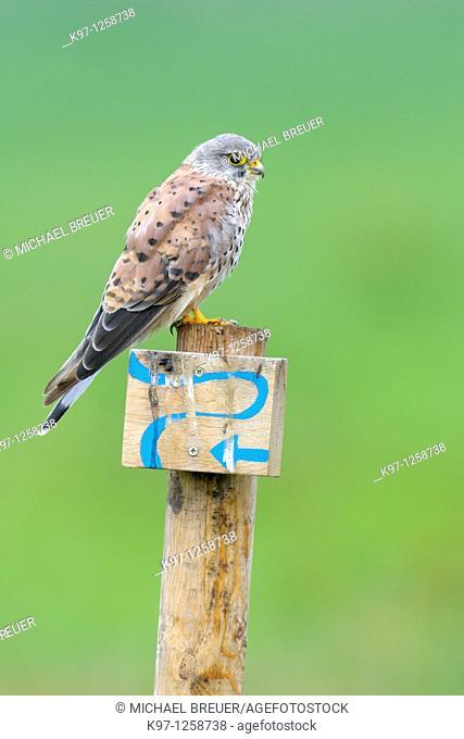 Common kestrel (Falco tinnunculus), Germany, Europe