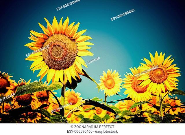 Sunflower field under blue sky. Floral background
