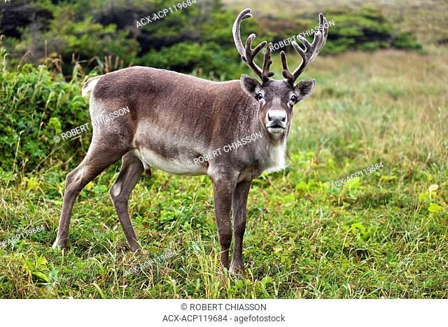 Adult male caribou with velvet-covered antlers in a clearing at the Port au Choix National Historic Site, Port au Choix, Newfoundland, Canada