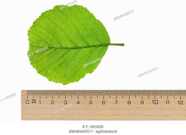 common alder, black alder, European alder (Alnus glutinosa), leaf, lower side, cutout, with ruler