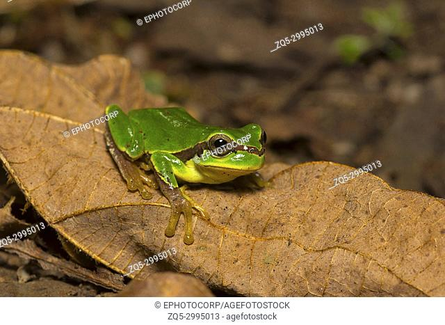Jerdon's tree frog, Hyla annectans, Kivikhu, Nagaland, India