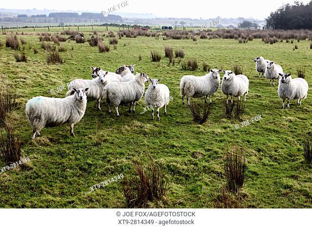 flock of sheep in a field ballymena, county antrim, northern ireland, uk