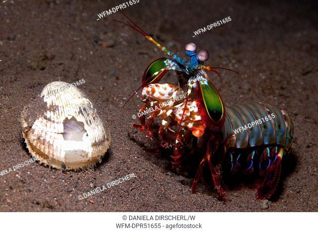 Mantis Shrimp guards captured Clam, Odontodactylus scyllarus, Seraya, Bali, Indonesia