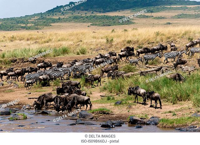 A Grant's zebra (Equus quagga boehmi), and Eastern white-bearded wildebeest (Connochaetes taurinus albojubatus) on the Mara river bank