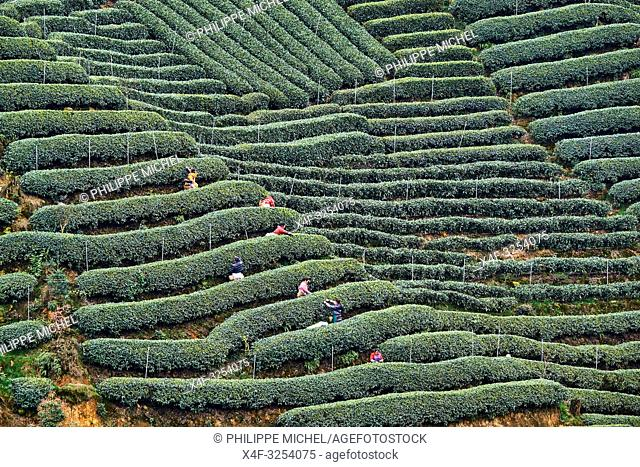 China, Sichuan province, Mingshan, statue of Wu Lizhen, tea garden, tea picker picking tea leaves