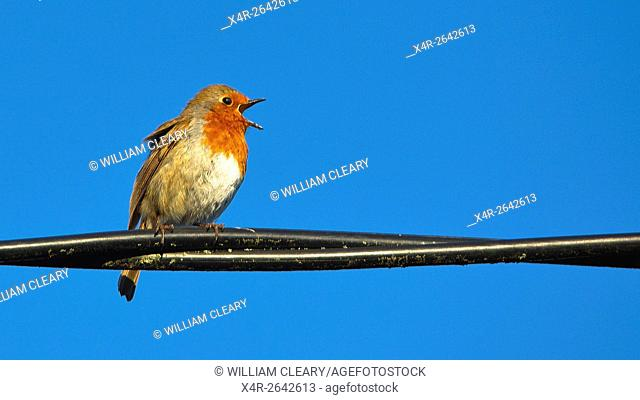 Robin perched on a telephone cable, singing