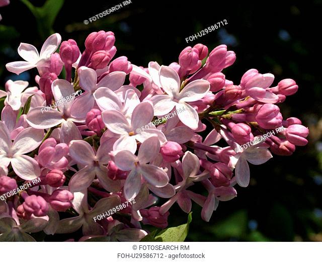 Montpelier, VT, Vermont, Purple Lilacs, flowers
