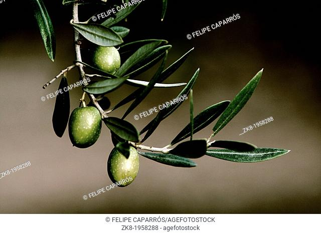 Olive in a branch picual, Jaen, Andalusia, Spain