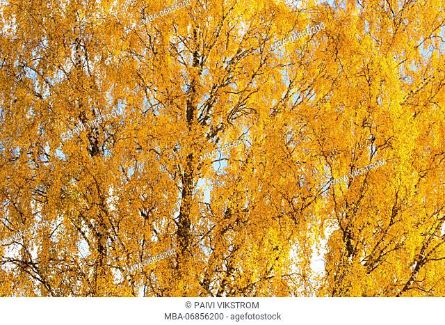 Birch trees with autumn yellow leaves