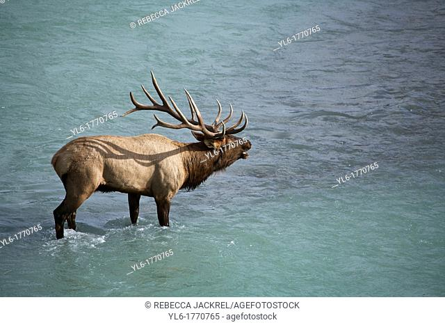 A bull elk Cervus canadensis calls to his herd from the edge of a glacial fed river in Jasper National Park, Alberta, Canada
