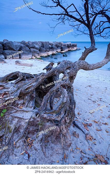A gnarled tree stretches out towards Lake Ontario. Oakville, Ontario, Canada