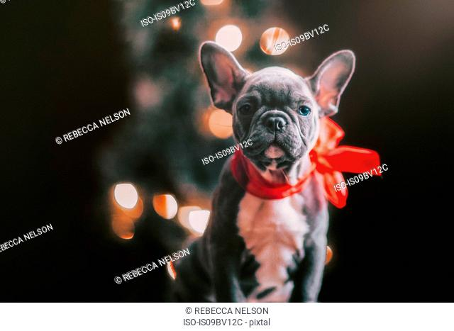 Young French Bulldog wearing red bow for Christmas