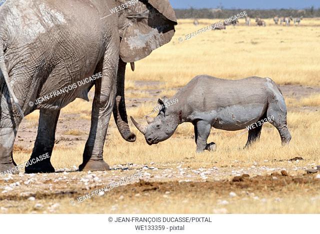 African elephant (Loxodonta africana), adult female watching a black rhinoceros (Diceros bicornis), adult male, walking in dry grass, Etosha National Park