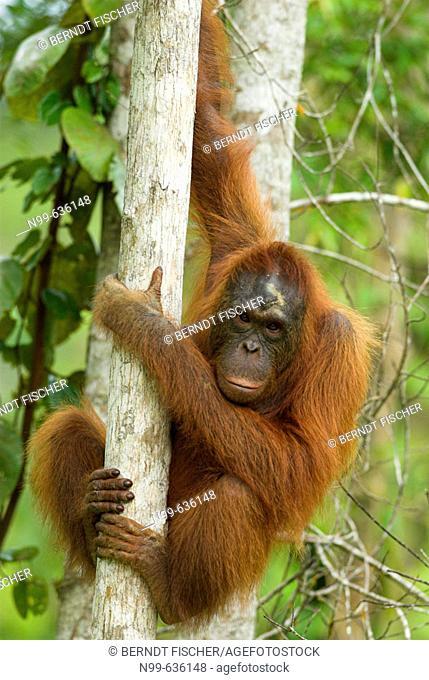 Orang-Utan (Pongo pygmaeus), female climbing  in a tree, rainforest,  Borneo, Kalimantan, Indonesia