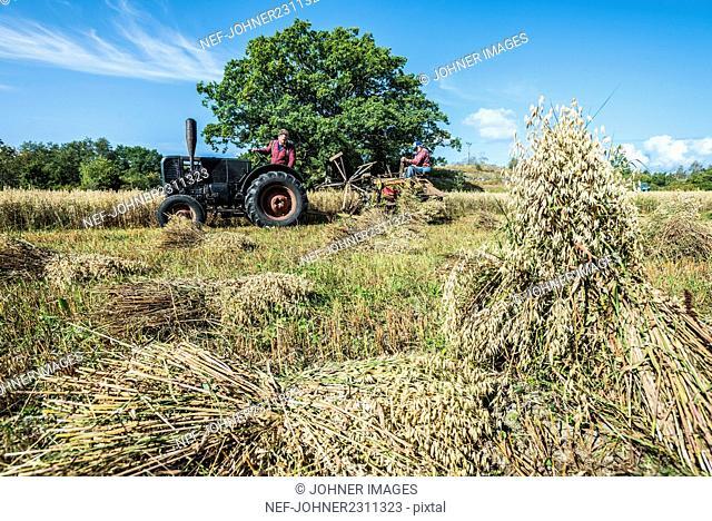 Farmers harvesting field