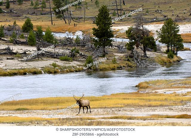 Bull Elk near Firehole River, Yellowstone National Park, Wyoming, USA