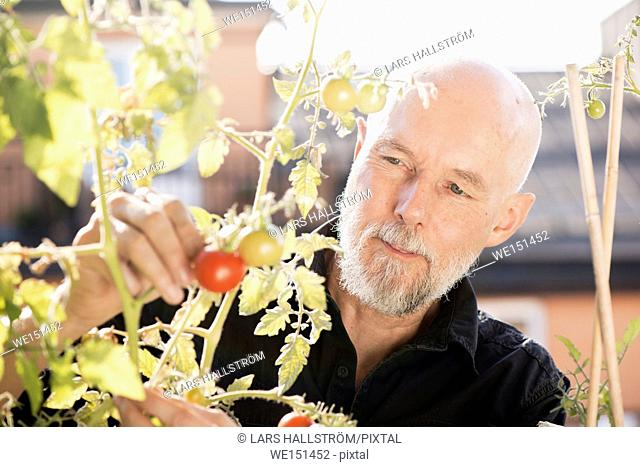 Old man gardening, taking care of plants and vegetables on balcony. Concept of green lifestyle and urban garden