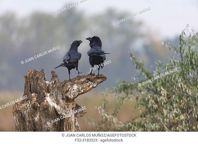 Common ravens / Northern raven (Corvus corax). Spain