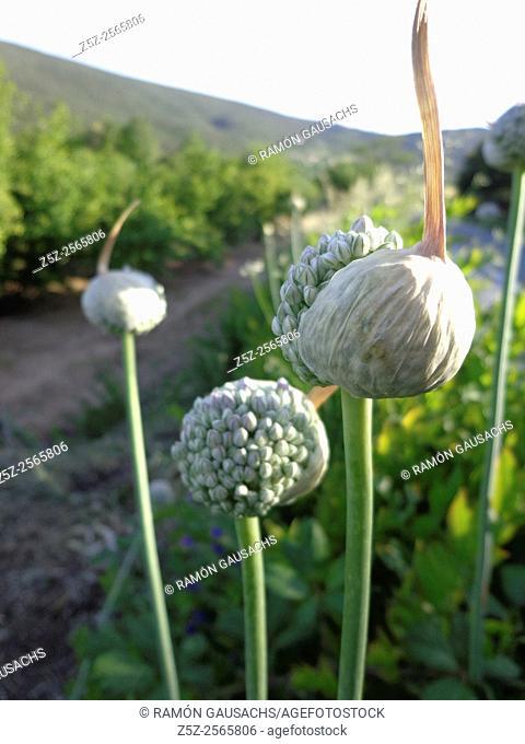 Onion (Allium cepa). Catalonia, Spain
