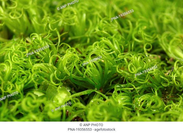 Mountain Fork-moss Dicranum montanum - Boswachterij Leende, Leende, Campine, North Brabant, The Netherlands, Holland, Europe
