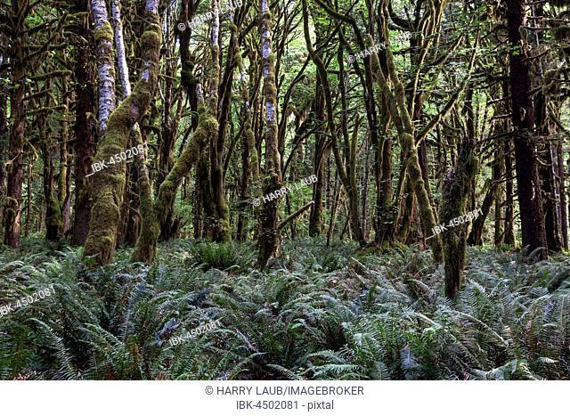 Vegetation with ferns on Kestner Homestead Trail, Quinault Rainforest, near Quinault, Olympic National Park, Washington, USA