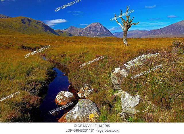 Scotland, Highland, Rannoch Moor. A lone dead tree on Rannoch Moor with Buachaille Etive M,àö,â§r, a mountain at the entrance to Glen Etive in the distance